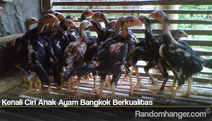Kenali Ciri Anak Ayam Bangkok Berkualitas