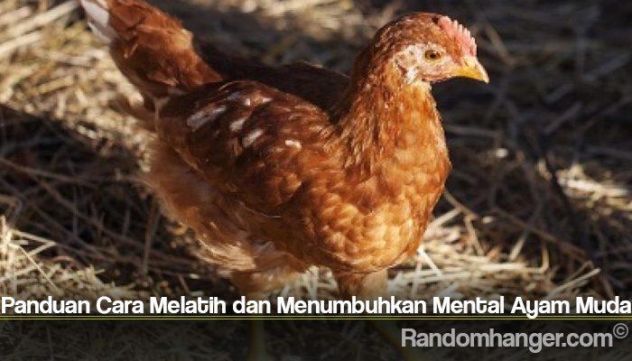 Panduan Cara Melatih dan Menumbuhkan Mental Ayam Muda