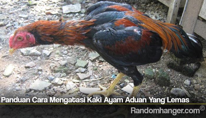 Panduan Cara Mengatasi Kaki Ayam Aduan Yang Lemas