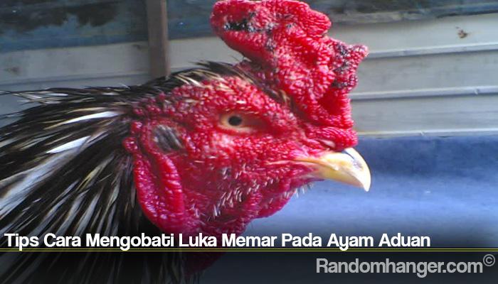 Tips Cara Mengobati Luka Memar Pada Ayam Aduan